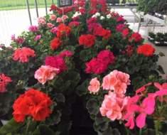 Samedi 18 Mai Journée fleurs et replants - Les Saveurs de la ferme