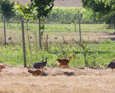 Les volailles gourmandes - Les Saveurs de la ferme